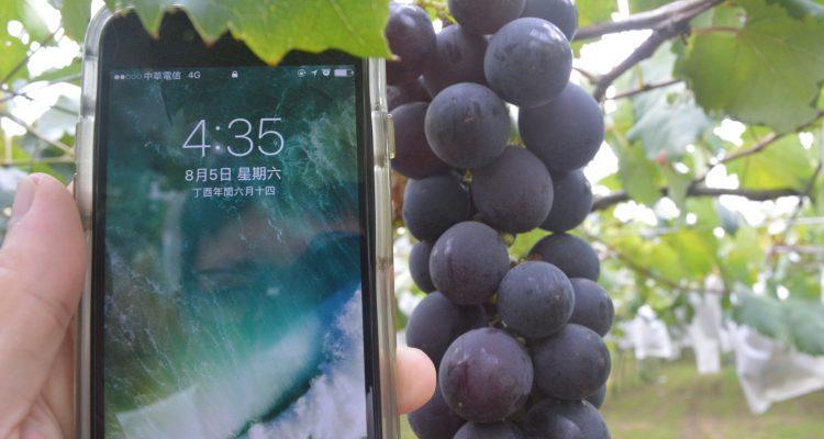最後的葡萄採收來囉~